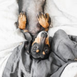 Dachshund on Wooflinen French Linen Bed